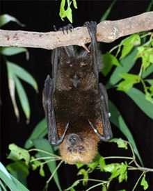 Fruit Bats are not 'Blind as a Bat'