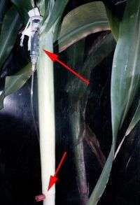 Sorghum IV Arrows