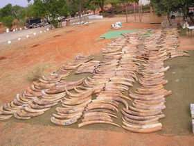 African carnage: One year's seized ivory likely came from 23,000 elephants