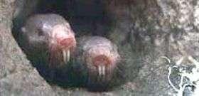 Ugly duckling mole rats might hold key to longevity