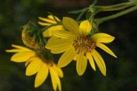 Whorled Sunflower