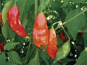 World's hottest chile pepper discovered