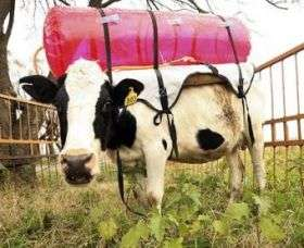 Cow Backpacks Trap Methane Gas