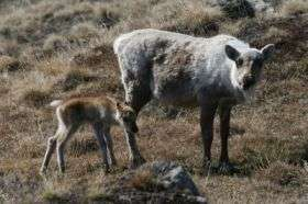 Global Warming Linked to Caribou-Calf Mortality