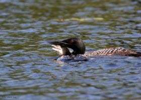 Scientists find mercury threatens next generation of loons