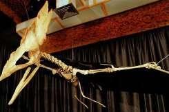 A reproduction of the Thalassodromeus sethi, a specimen of pterosaur