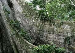 Base of a 100-year-old tree in the jungle near Belem