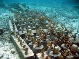 Aceh Coral Transplant Site