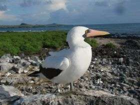 Adult Nazca Booby