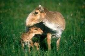 Asia's odd-ball antelope faces migration crisis