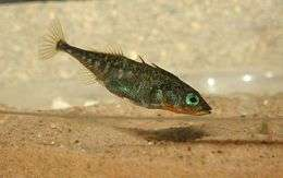 A stream-resident male threespine stickleback from Alaska