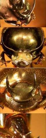 Beetle Horns