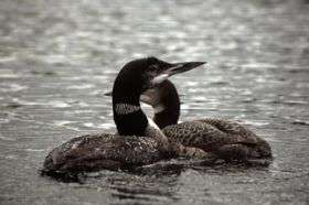 Behaviorists discover a code within male loons' yodel