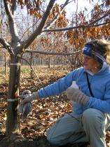 Blight-resistant American chestnut trees nearing reality