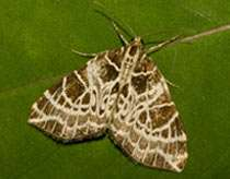Boosting the numbers of rare moth