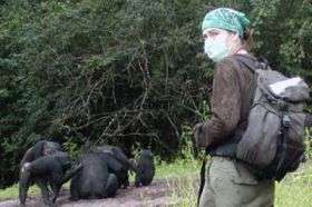 Common human viruses threaten endangered great apes