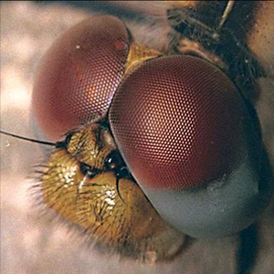 Flies' eyes could enhance robot vision