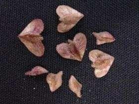 Eckert Dispersal Study --Seed Pods