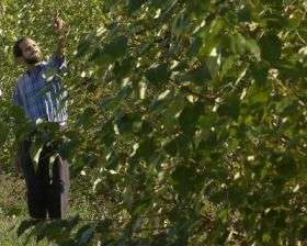Fighting pollution the poplar way: Trees to clean up Indiana site