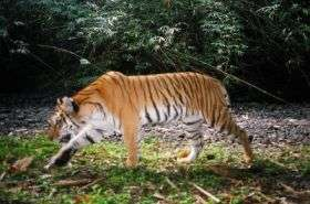 'Genetic corridors' are next step to saving tigers
