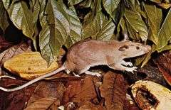 Giant Pouched Rat - Via Britannica Encyclopedia