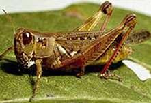Grasshopper, Melanopuls femurrubrum
