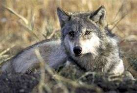 Gray Wolf Hunts Planned After De-Listing (AP)
