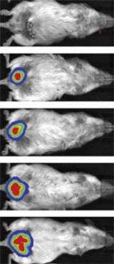 Imaging Assay Tracks Growth of Fat Cells in living mouse