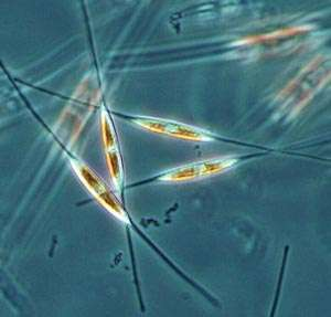 In diatom, scientists find genes that may level engineering hurdle