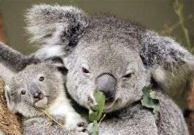 Koalas at risk from climate change (AP)