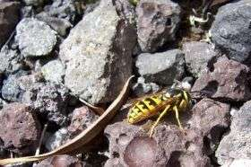 Megan Eckles Lures Yellowjacket Wasps with Protein-Rich Bait