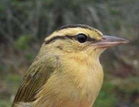 Migrating songbirds learn survival tips on the fly