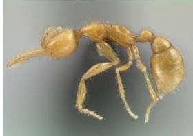 New Amazonian Ant