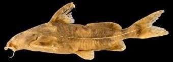 New Catfish Species