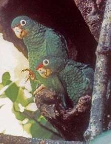 New study analyzes why endangered parrot population isn't recovering