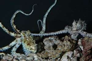 Octopus sex more sophisticated than arm-wrestling