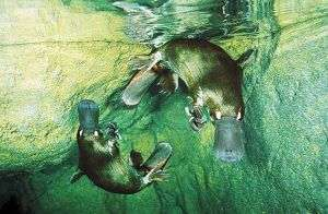 Platypus genome explains animal's peculiar features; holds clues to evolution of mammals