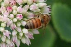 Pesticide build-up could lead to poor honey bee health