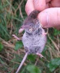 White Toothed Shrew