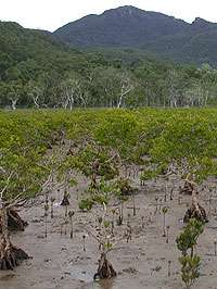 Research finds mangroves being fed to death