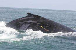 Whale-sized genetic study largest ever for southern hemisphere humpbacks