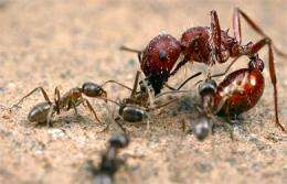 When ants attack: Researchers recreate chemicals that trigger aggression