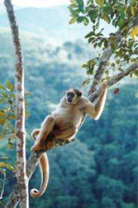 Global warming cycles threaten endangered primate species