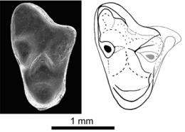 Discovery of the oldest European marsupial