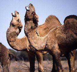 Study shows how camels keep their cool