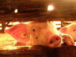 77 percent of European pigs are castrated without anesthetic
