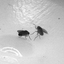 Caltech scientists discover aggression-promoting pheromone in flies