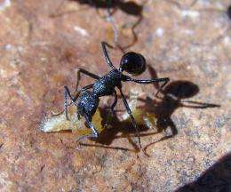 Southern Hemisphere Ants Richer and More Diversified