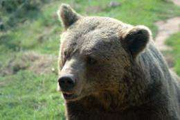 The two brown bear populations in Spain have been isolated for the past 50 years