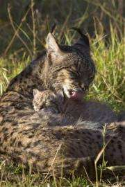 A female lynx with her cub at the captive breeding center of the Donana National Park, southern Spain